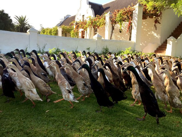 For this Vineyard, It's Duck Duck, Booze